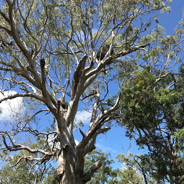 This White-bellied Sea-Eagle nest is over 20 years old. Knowing your yuri(totems) home is about protecting and sustaining its habit.#gooriemookatours #redlandcity #staddieis #queenslandmuseum #straddietourism #straddiechamberofcommerce #visitbrisbane #queensland #australia #stradbrokeferries