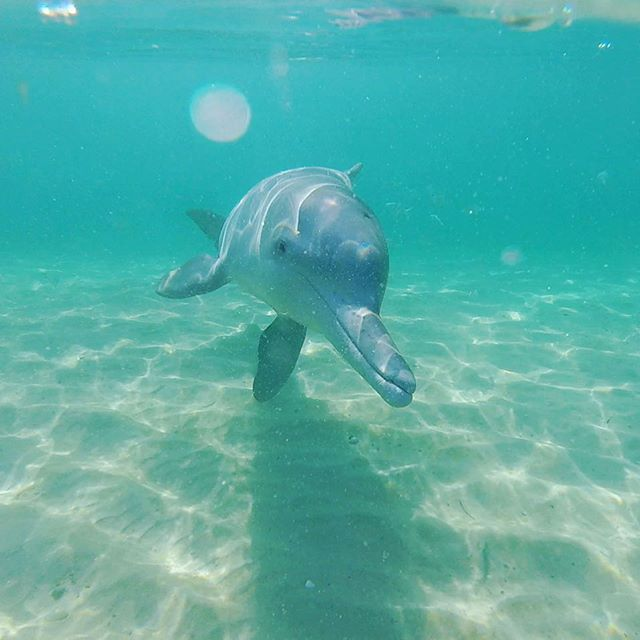 My son took this picture . Swimming with dolphins North Stradbroke Island . His grandfathers did it for thousands of years . #gooriemookatours