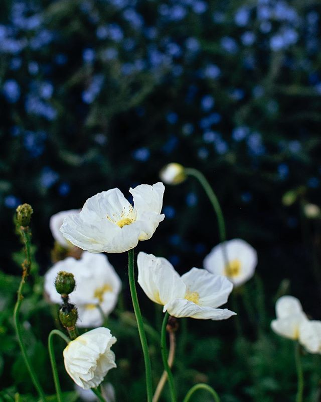 🌿 Iceland Poppy {Papaver nudicaule} ⠀ ⠀ 🌿The allure: Magical, ethereal, paper thin petals. Delicately smooth flowers with strong stems that can sometimes grow at odd angles if you're lucky, Iceland poppies add that whimsical touch to gardens and arrangements. ⠀ ⠀ 🌿The facts: A hardy perennial zones 2-7 but susceptible to high temperatures, Iceland Poppies are an ethereal beauty. Truly one of my garden favourites! They bloom best in temperatures below 21C (70F), so flourish from spring to early/mid summer.⠀ ⠀ 🌿How to grow: seeds are almost microscopically small! If you decide to grow these beauties, don't be tempted to sow multiple seeds in a cell. Sow 1 seed per cell in a seed tray and sprinkle lightly with soil or vermiculite. Place under light (15-16hours per day). Only use bottom watering to avoid seed displacement before they've sprouted. Can be planted in the fall as a biennial or start from seed late winter to plant out as soon as the soil can be worked.⠀ ⠀ 🌿Favourite Iceland Poppy seed source: @floretflower⠀ ⠀ Want to know more? Send me a message any time!⠀ 📷 @kelsey_thefarmersdaughter⠀ ⠀ ⠀ #grayacres⠀ #farmerflorist⠀ #womenwhofarm⠀ #tinyfarm⠀ #fortlangley⠀ #fraservalley⠀ #langleyfresh⠀ #icelandpoppies⠀ #cutflowergarden⠀ #floretseeds