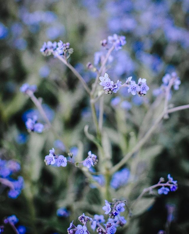 {Chinese Forget-Me-Not} - blue showers - these delicate beauties are so great because unlike the more common forget-me-not, they can be grown like an annual (vs. the biennial version, which you have to wait a year for!) 🌱 The clusters of tiny, blue flowers atop long, strong stems are an airy addition to create that whimsical, garden bouquet 🌱 High heat can cause these guys to bolt and go to seed quite quickly, so frequent cutting is necessary. The seed heads are kind of a pain because they are the tiniest little burrs that get stuck to your clothes the moment you brush against them! (or your hair!) 🌱 These forget-met-nots require total darkness to germinate, so make sure you keep them away from light until they sprout, then place under your growing lights. They also have to be started indoors 4-6 weeks before your last frost date. 🌱 seed source: @floretflower photo: @kelsey_thefarmersdaughter . . . . . . #grayacres #farmerflorist #womenwhofarm #tinyfarm #fortlangley #fraservalley #langleyfresh #grownnotflown #sustainablegardening #flowerstory #DIYgarden #growyourown #homegrown #organicgarden #floretseeds