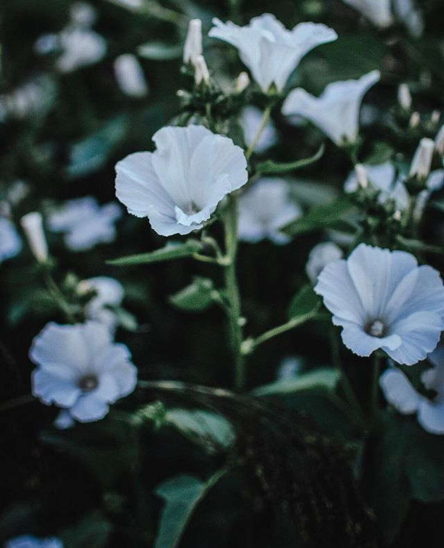 {lavatera} - mont blanc - these understated beauties are stunning in arrangements or placed in a vase on their own. With its white and green simplicity, Lavatera is an elegant presence in any garden or arrangement. ⁣ 🌱⁣ Lavatera is a hardy plant, producing several flowers until first frost. Even when the most of blooms are spent, the green stems and foliage offer cute, little, round seed heads that are easy to dry and keep for next year.⁣ 🌱⁣ Try growing Lavatera in your garden this year, and if you don't have a garden, it's an excellent choice for potting up on your balcony.⁣ 🌱⁣ This plant can be direct-seeded as early as mid-march for all of you itching to get your hands in the soil after our dark, wet winters. Repeat your sowings every 2 weeks for blooms all summer long. Similar to cosmos, they don't like manure or fertilizer much. Good for those garden areas with poor quality soil.⁣ 🌱⁣ Seed source: @westcoastseeds⁣ Photo: @kelsey_thefarmersdaughter⁣ .⁣ .⁣ .⁣ .⁣ .⁣ .⁣ #grayacres #farmerflorist #womenwhofarm #tinyfarm #fortlangley #fraservalley #langleyfresh #grownnotflown #sustainablegardening #flowerstory #DIYgarden #growyourown #homegrown #organicgarden #westcoastseeds