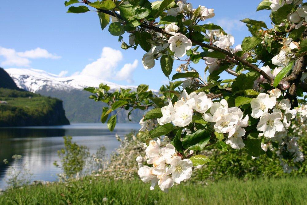 Fruktblomstring ved Sognefjorden