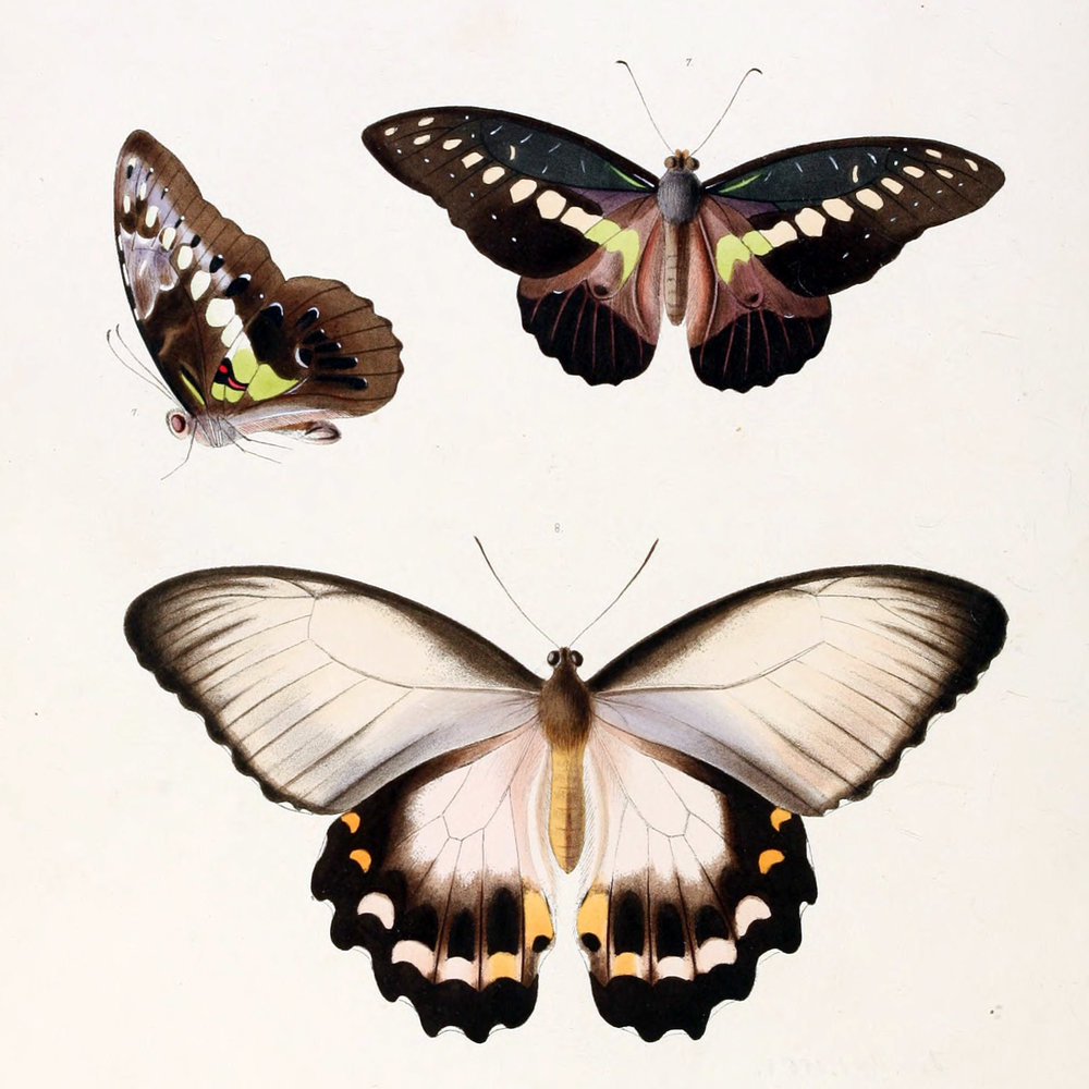 Illustrations_of_new_species_of_exotic_butterflies_Papilio_III.jpg