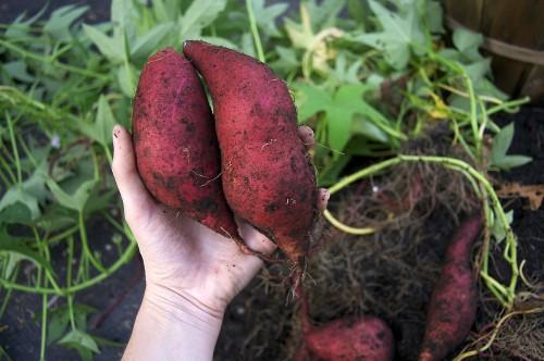 sweet-potatoes-500x332.jpg