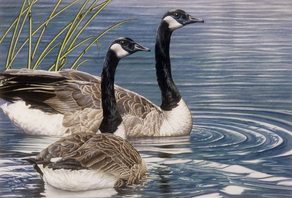Canada Geese - 10