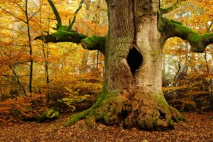 old growth tree in the woods during Autumn