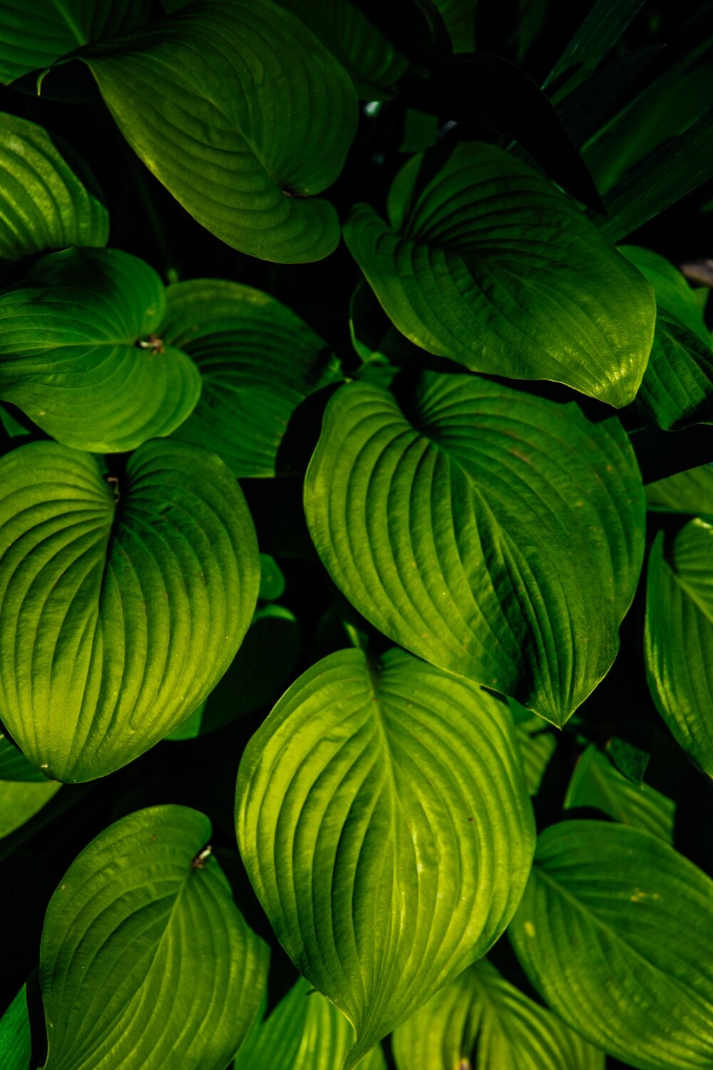 pleated leaves