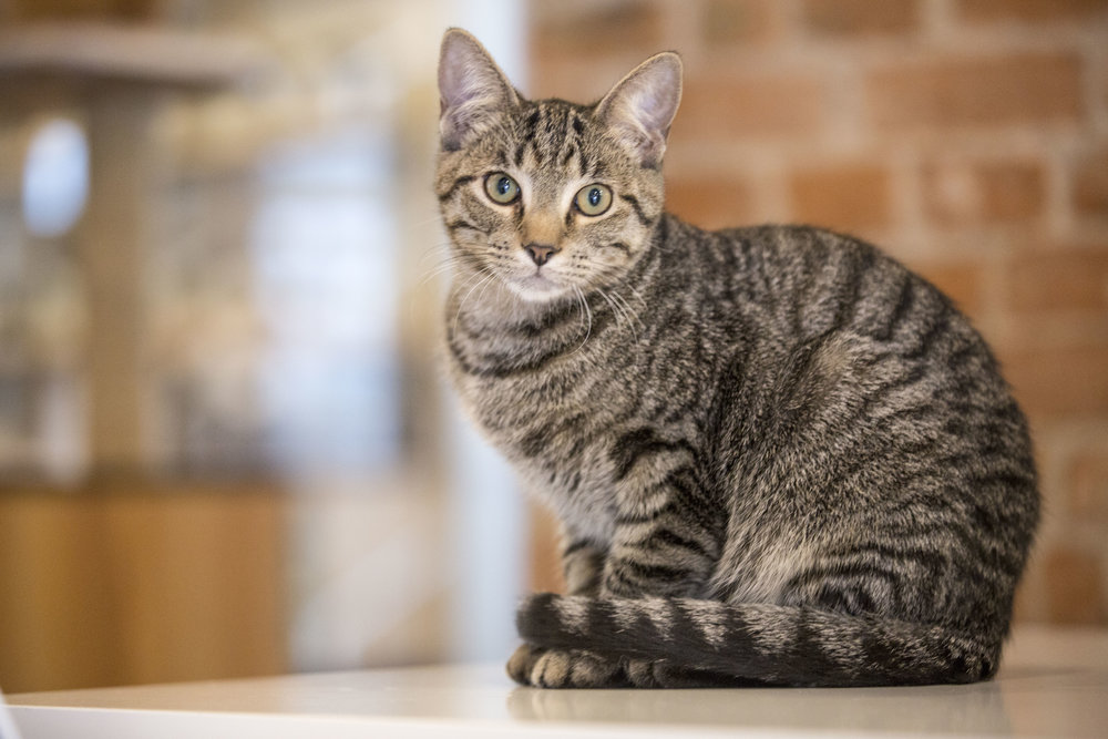 ADOPTING FROM THE CATFE - Our cats come from our partner rescue, Gem City Kitties. We can approve adoptions on site if you meet the right cat! To see our adoptable cats, read more about how our adoptions work, or to fill out an application online, click the button below.