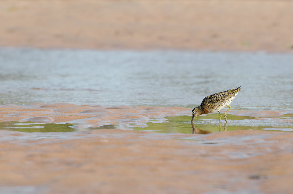 Dowitcher Chow Time
