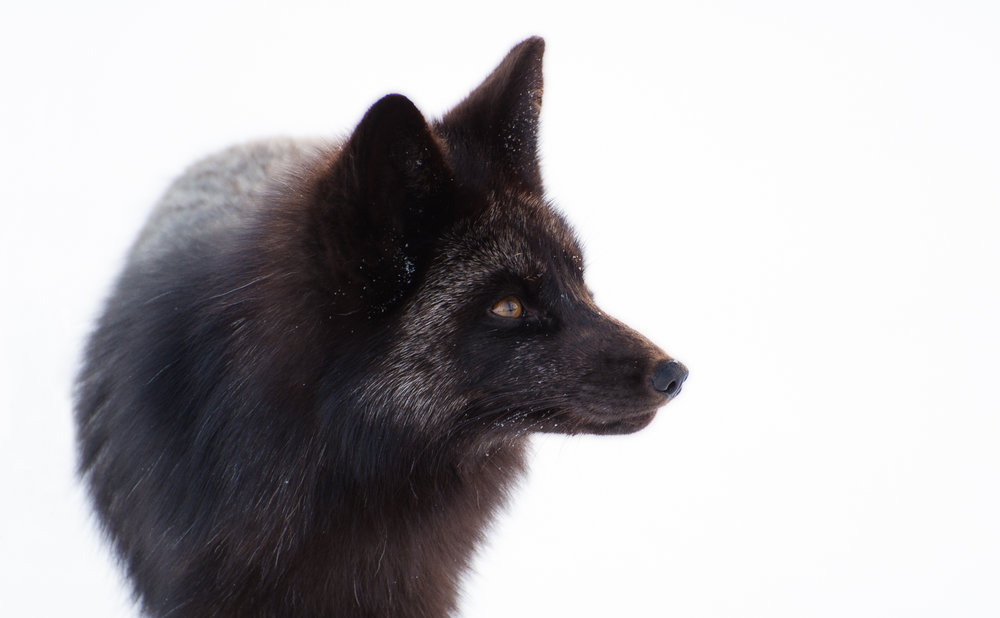 Portrait of a Silver Fox