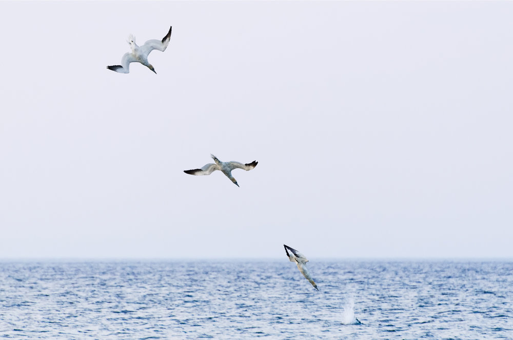 Gannet Hunting Sequence