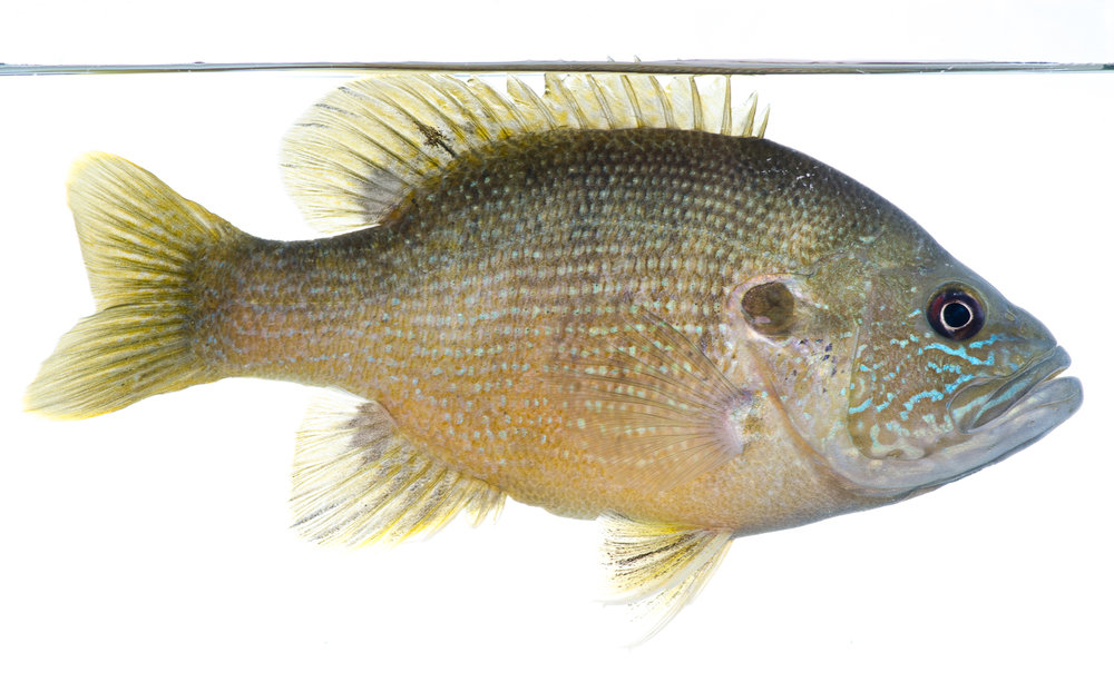 Green Sunfish Portrait