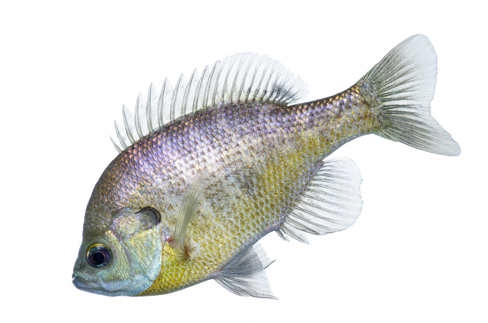 Bluegill Profile