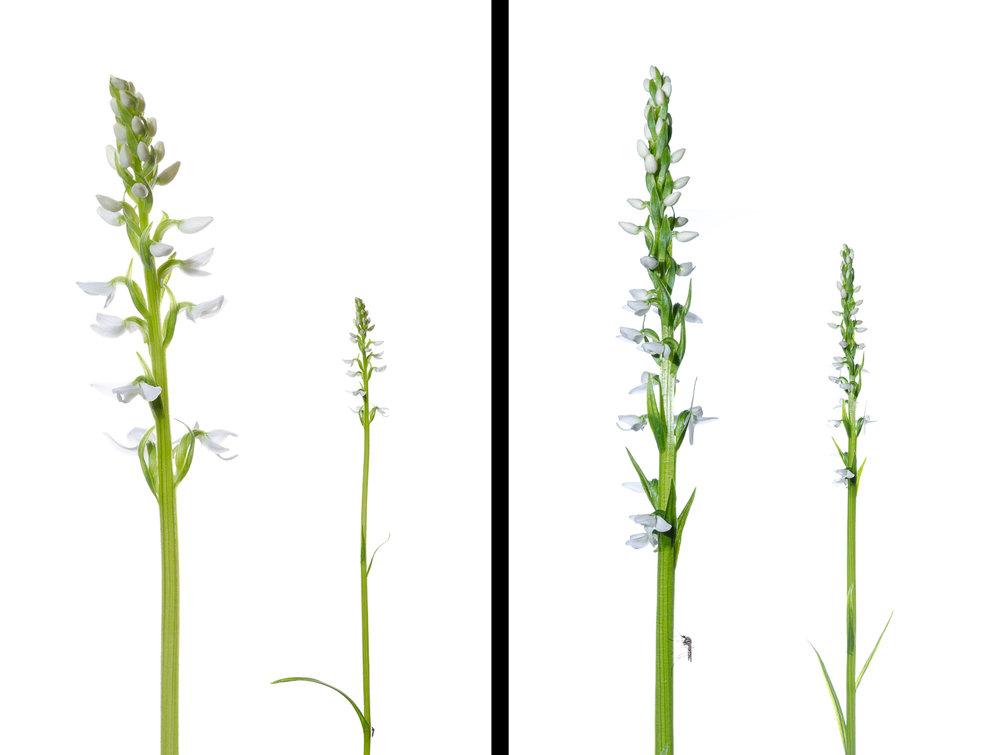 PEI Orchids