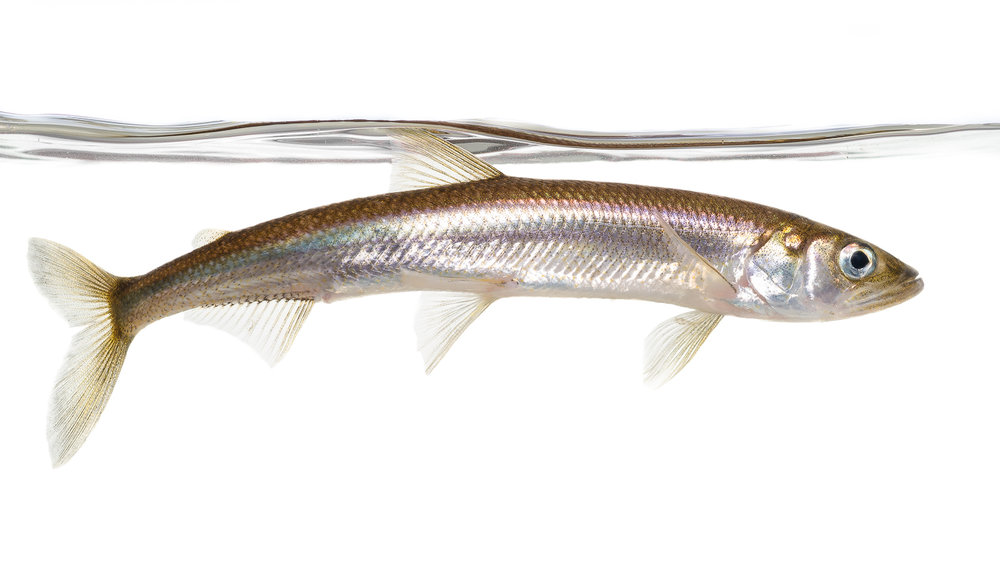Rainbow Smelt Profile