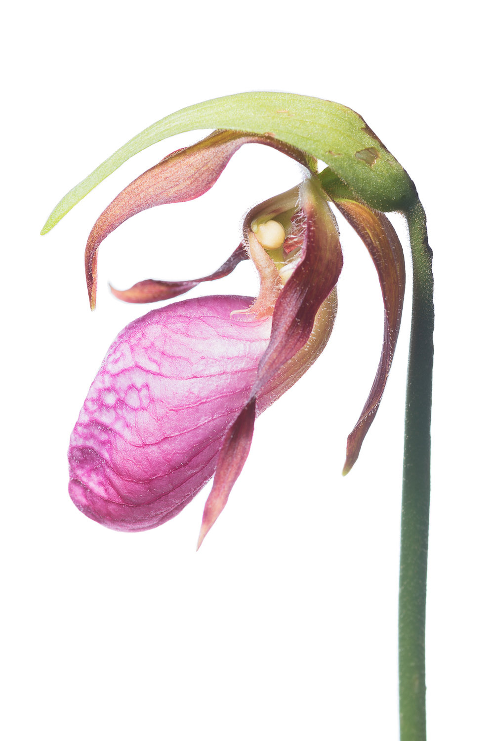 Pink Lady Slipper Profile