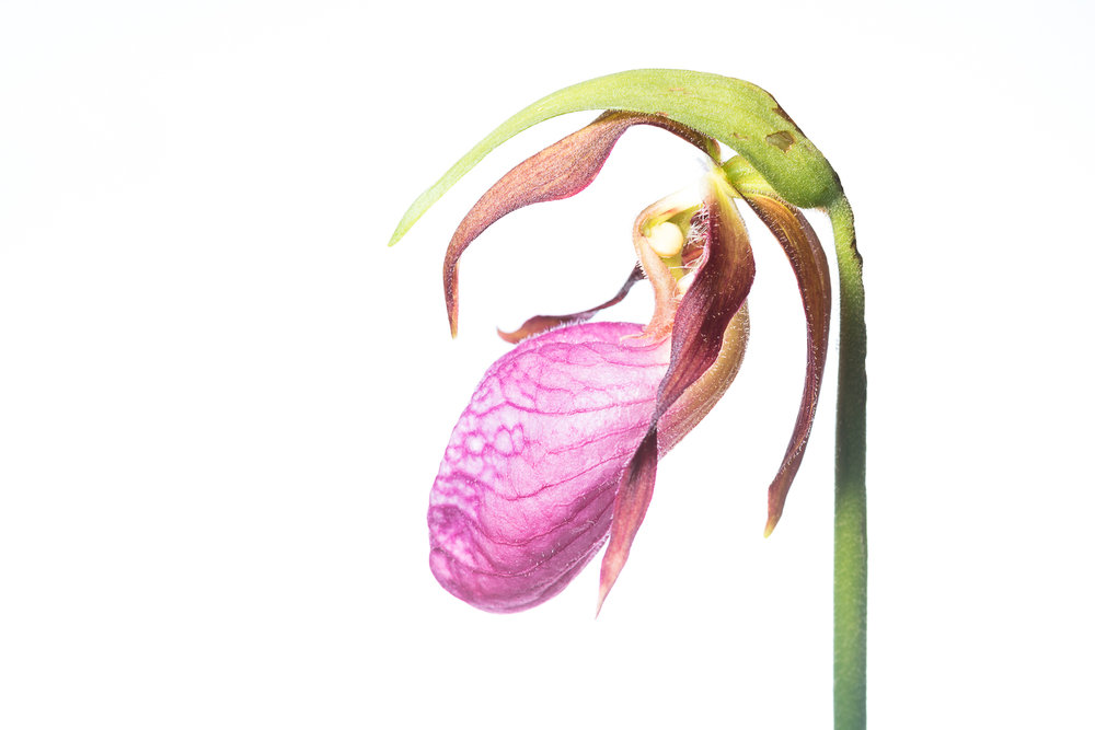 Pink Lady Slipper Profile II