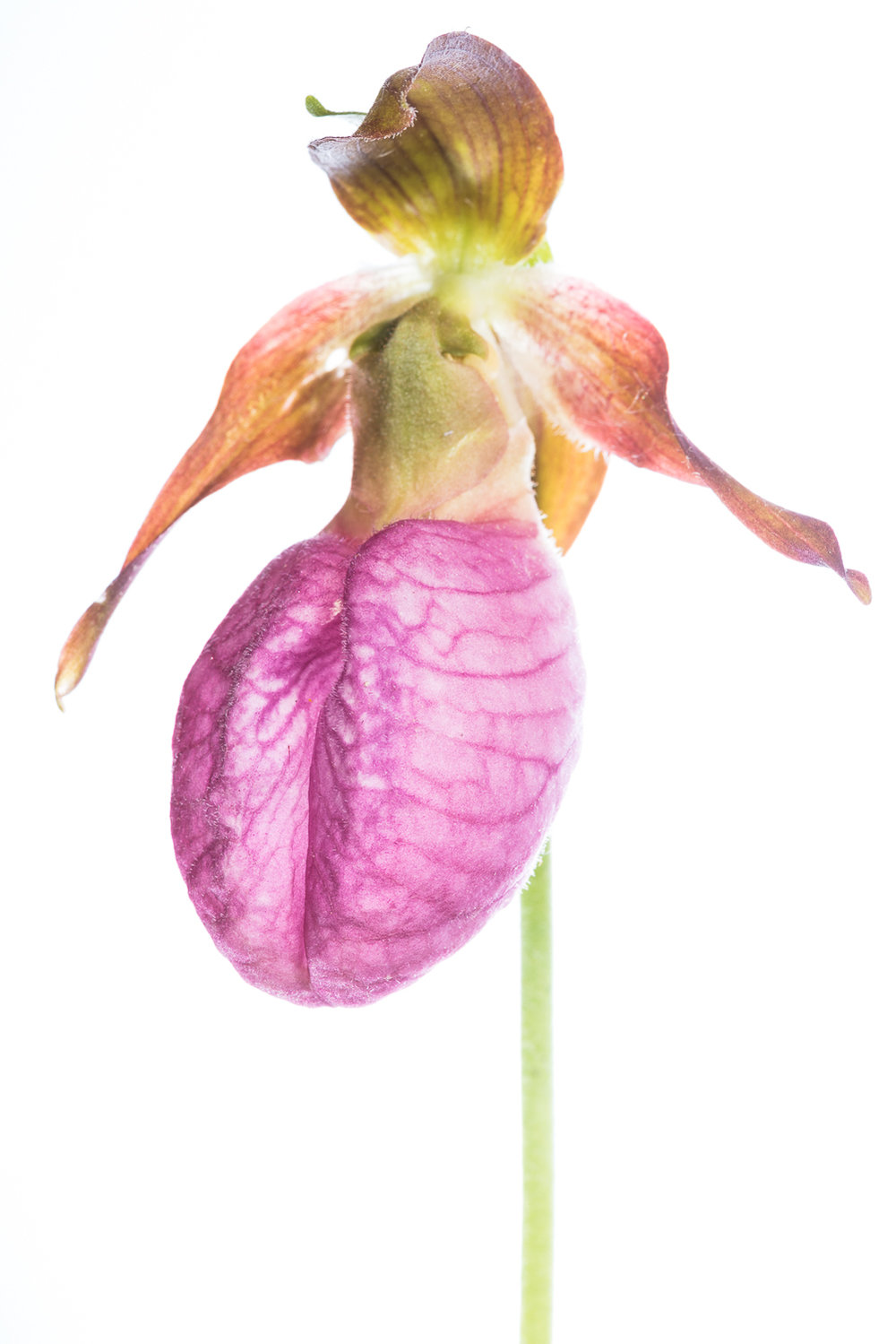 Pink Lady Slipper Head Shot