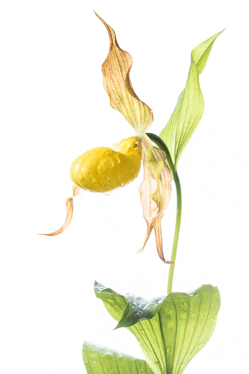 Yellow Lady Slipper Portrait