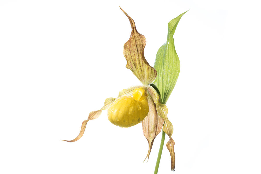 Yellow Lady Slipper Portrait II
