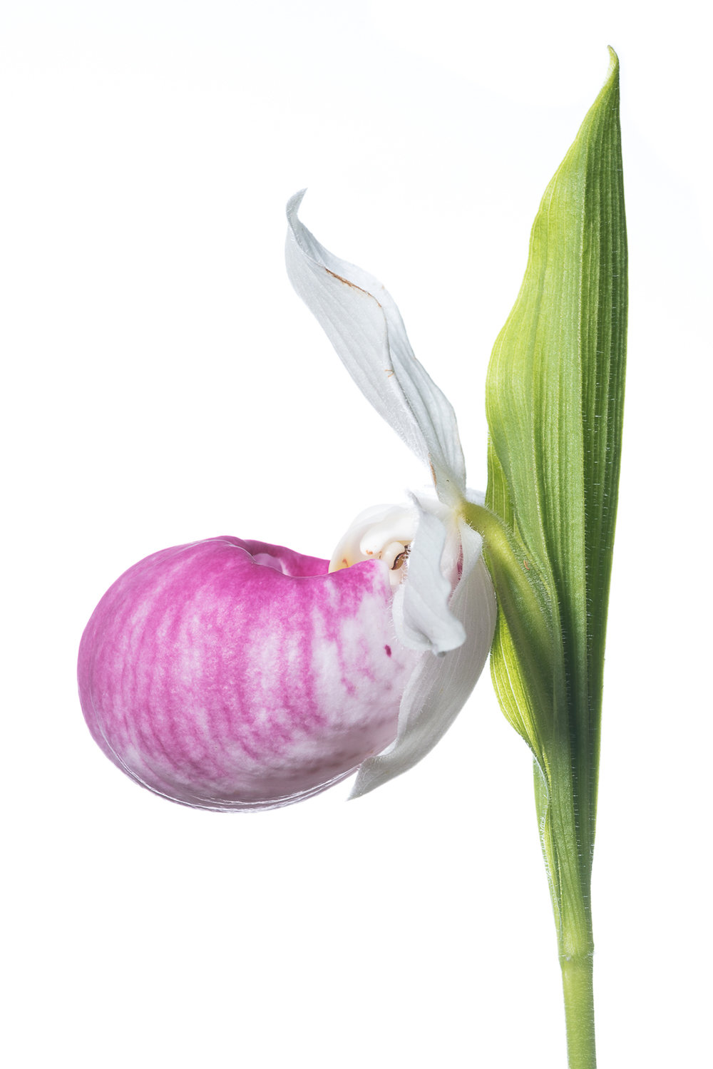 Showy Lady Slipper Profile