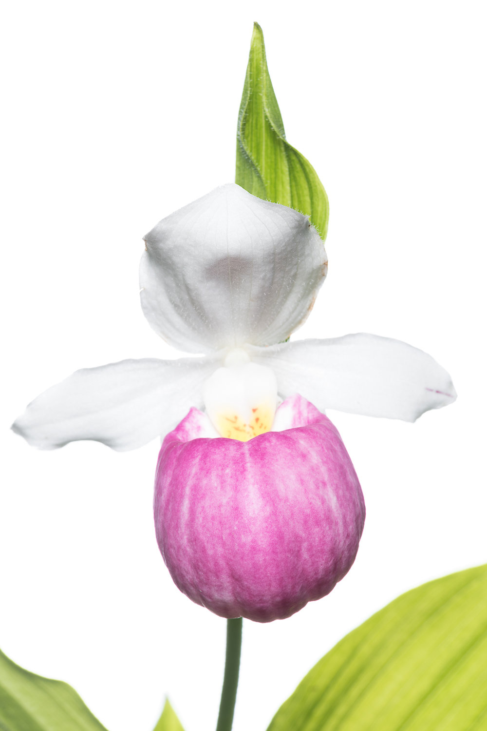 Showy Lady Slipper Head Shot
