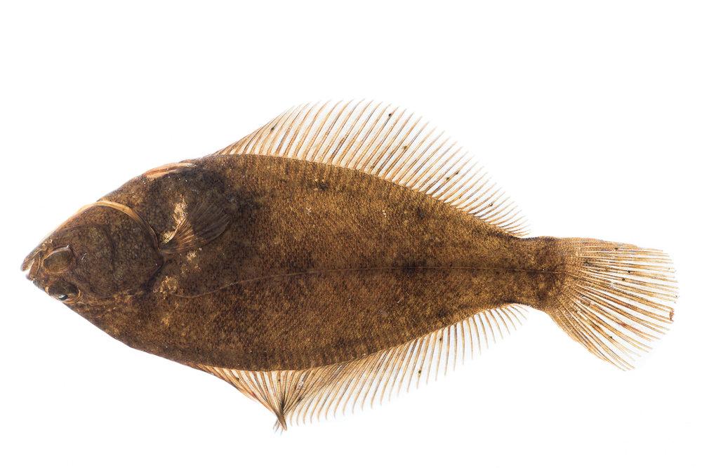 Winter Flounder II