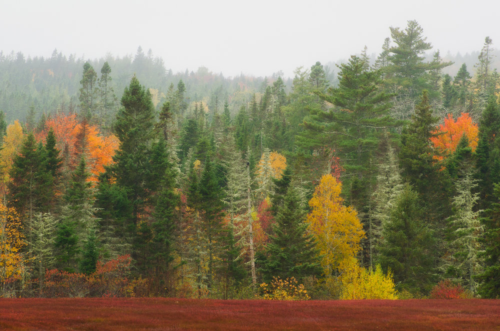 Foggy fall foliage blueberry field.jpg