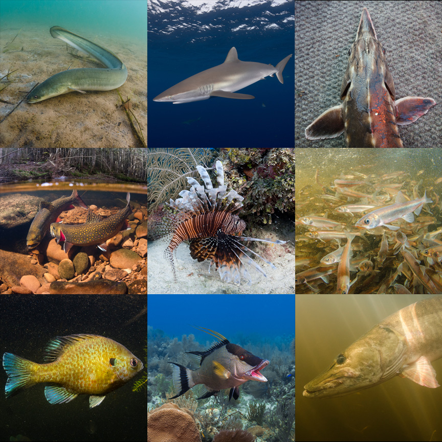 Biology of Fishes - Fishes are the most diverse group of vertebrates on the planet, encompassing some 30,000+ species. Aimed at 3rd and 4th year students, material delivered in this course will enable participants to learn about the evolution of fishes, basics of fish physiology (including locomotion, reproduction, gas exchange, osmoregulation, buoyancy regulation, sensory systems, and more), principles of fisheries ecology as well as special topics in fisheries conservation.