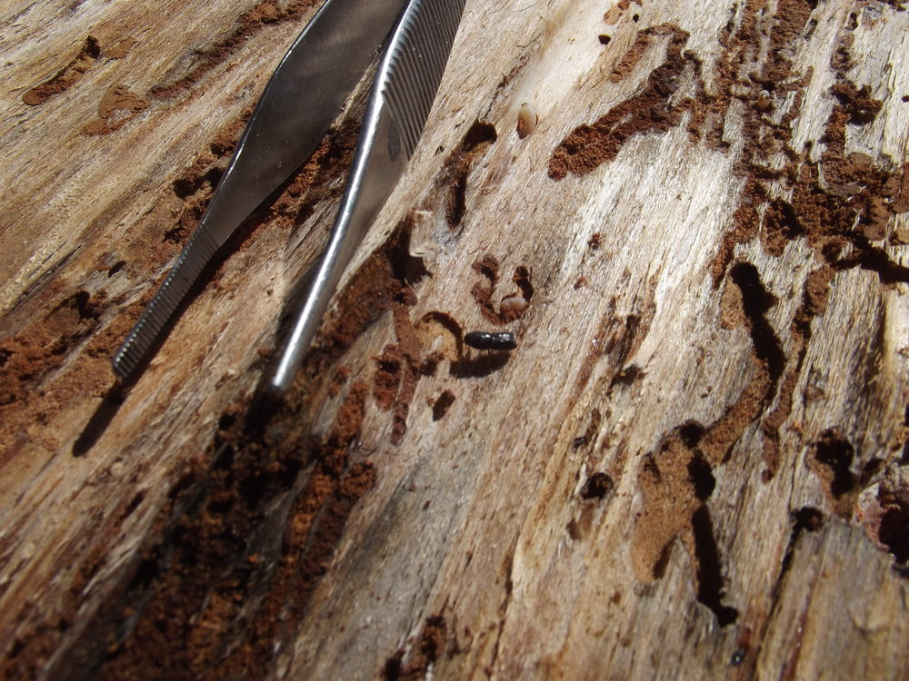 An Ips Bark Beetle