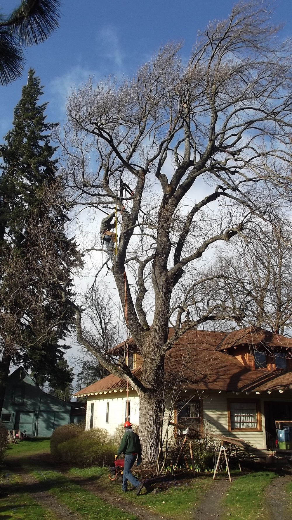 Tulip Poplar After Pruning