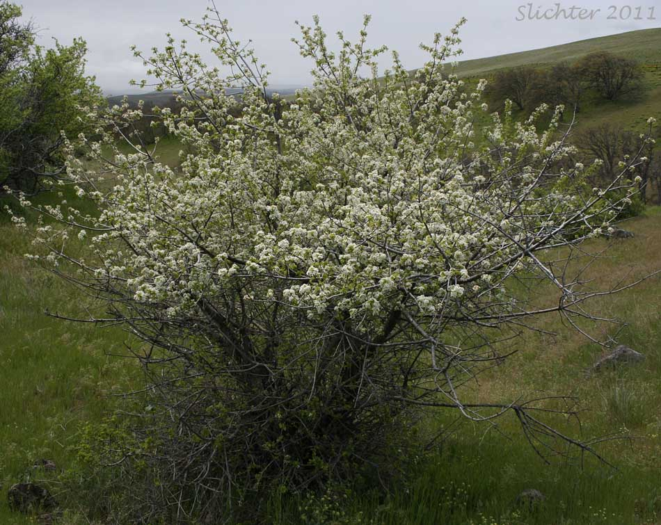 Bitter Cherry Shrub