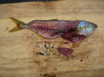 Fish-with-plastic-1024x768-347x260.jpg
