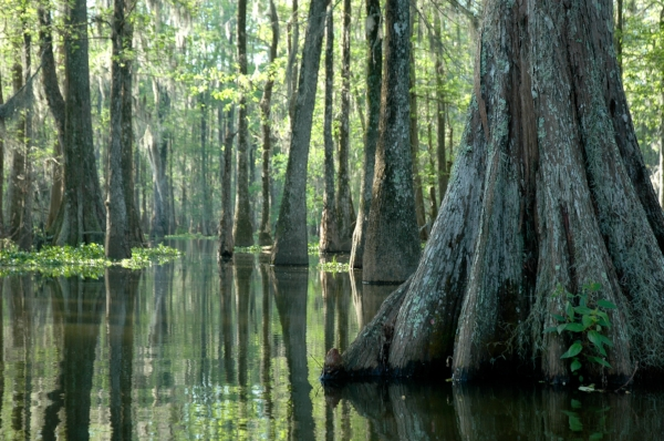 Early morning in the swamp, Lake Martin. Photo by Michael McCarthy via  Flickr .
