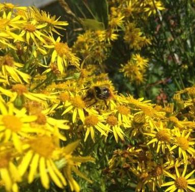 Bee in our garden.jpg