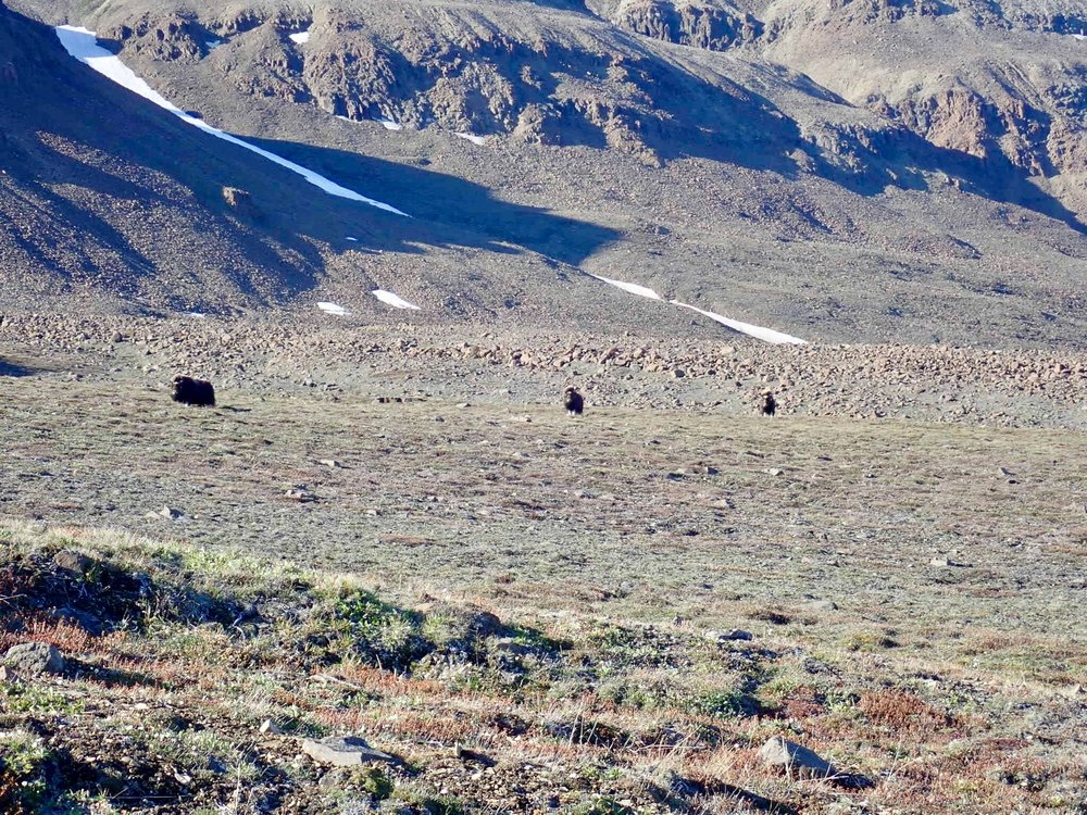 Muskox. Of course these 400 kg critters are standing right where I want to go and have a look for more Ladderbjerg copper. Alas, the right thing to do was beat a hasty retreat and revisit the site in 2019.
