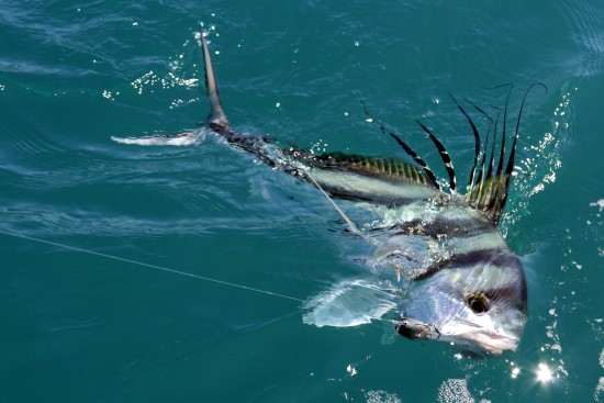 Roosterfish - Run hard, hit hard...