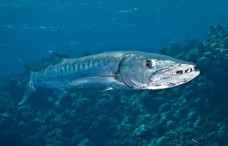 Barracuda - All year round!