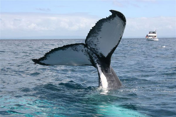 Unique experience - From December to March Witness Majestic Humpback Whales while they call the Bay of Banderas their home.