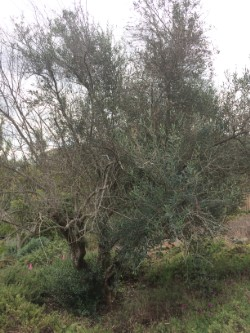 Pierce-Disease on Olive Tree
