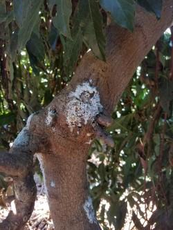 Canker on Avocado Tree