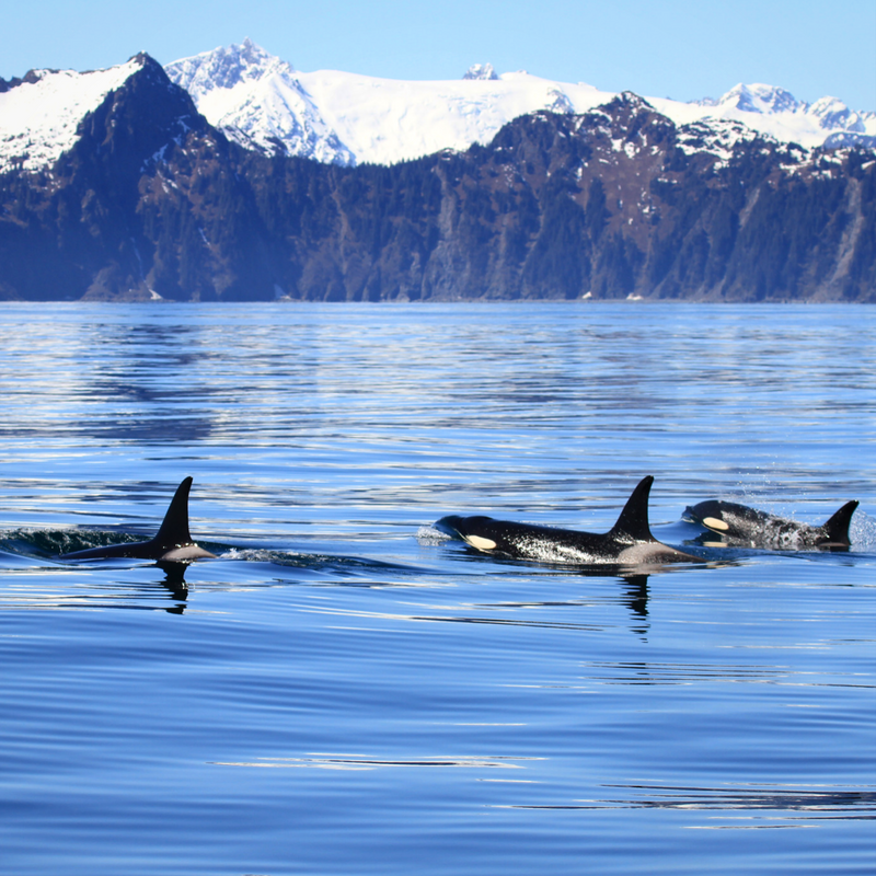A pod of Orcas surface on Seward Alaska Boat Tours with Alaska Fjord Charters