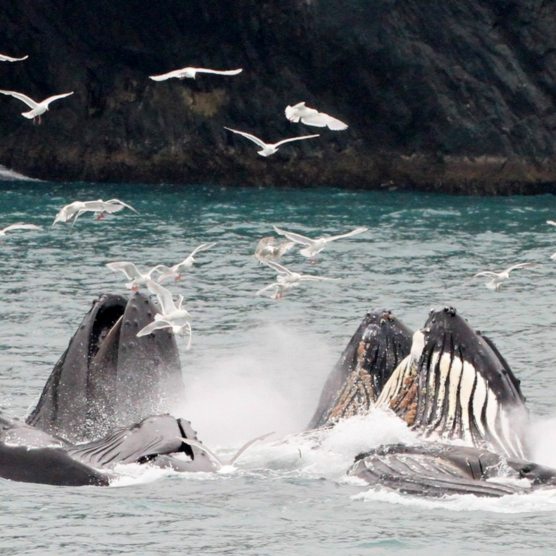 Humpback Whales Bubble Net Feeding on one of our Multi Day Seward Boat Tours