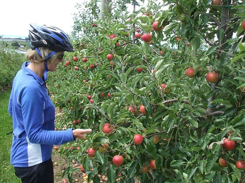 moutere-apple-picking.jpg