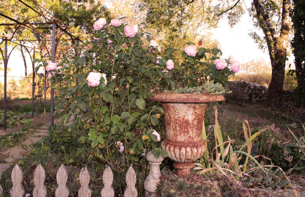 The language of roses - in the garden with David