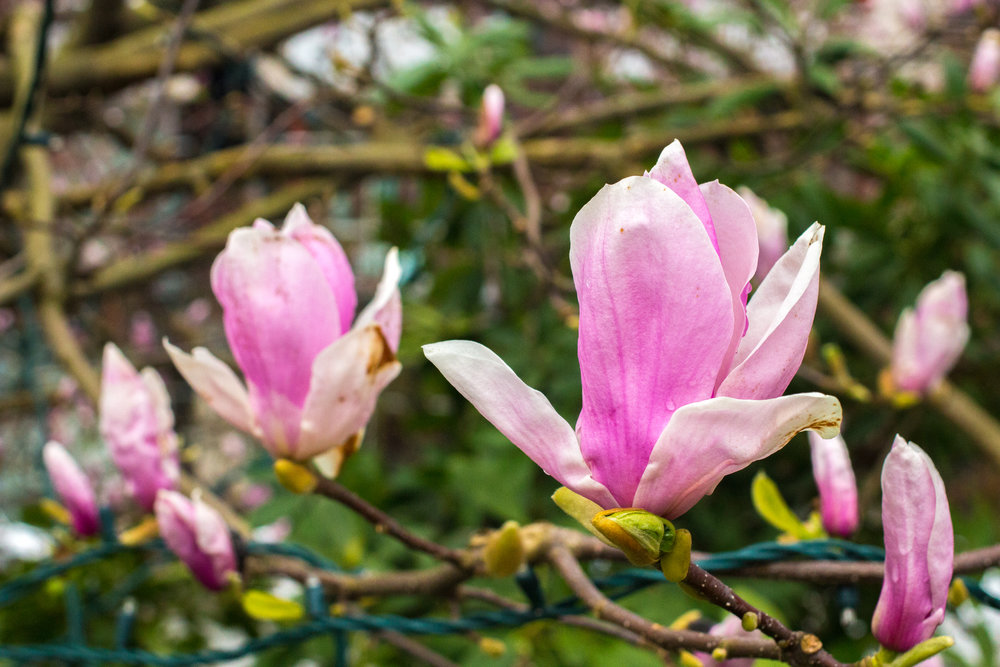 CherryBlossoms_westcoast_fresh.jpg