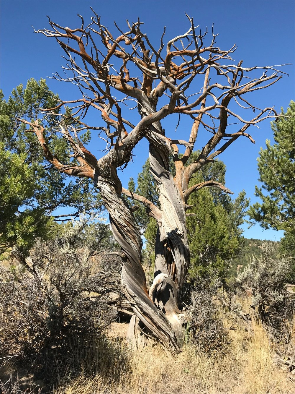 Gnarled tree.jpg