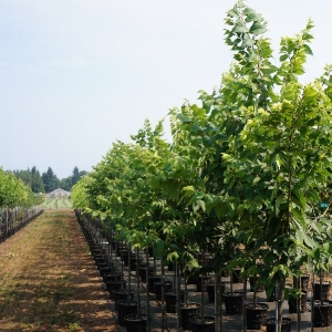 we grow many different varieties - Garden Gate Nursery