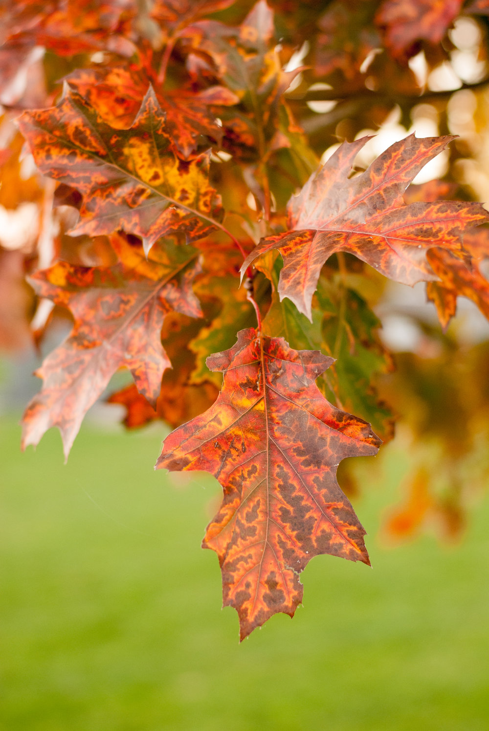 One amazing plus is the great fall color in certain varieties.