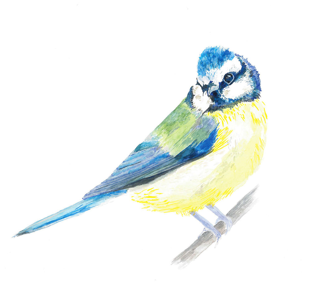 Bluetit-LouiseNaughton.jpg.jpg